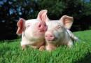 VMVT primena apie reikalavimus ūkininkams, ketinantiems įsigyti ar parduoti kiaules
