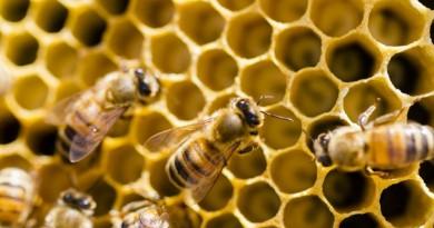Priimamos paraiškos papildomo bičių maitinimo išlaidoms kompensuoti