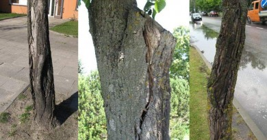 gedimino gatvėje augantys medžiai
