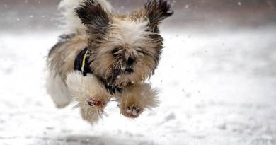 sniegas šuo orai