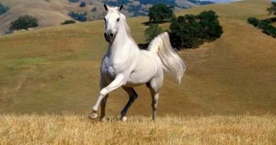 arklys žirgas