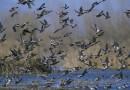 Europoje sparčiai plinta paukščių gripas