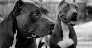 pitbulterjeras šuo šunys